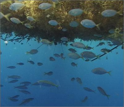 Sargaško more (foto: SAFMC)