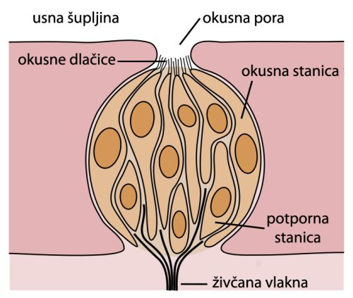 Okusni pupoljci2 (Wikimedia)