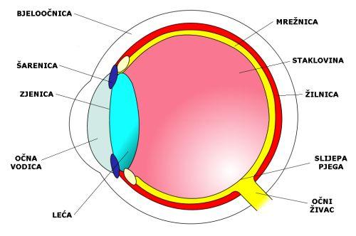 Dijelovi oka (Foto: commons.wikimedia)