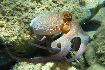 Hobotnica (foto: EOL)