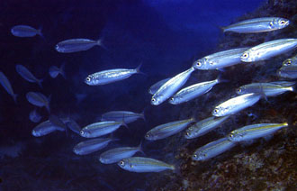 Bukva (foto: FishBase)