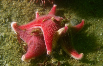Zvjezdača Odontaster validus (foto: EOL)