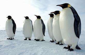 Carski pingvini (foto: EOL)