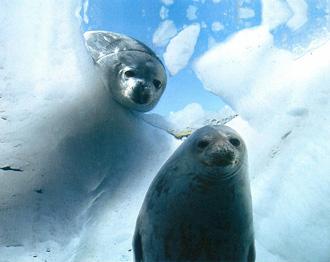 Weddellov tuljan (foto: Cencus of Marine Life)