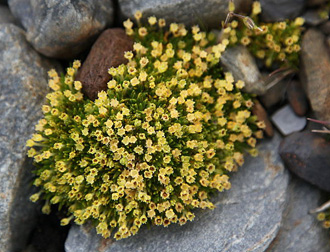 Antarktička biljka Colobanthus quitensis (foto: Wikipedia)