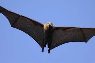 Leteća lisica (foto: EOL)