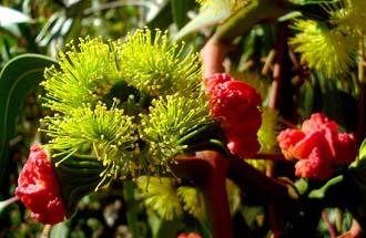 Svjetovi vrste Eucalyptus erythrocorys (foto: Wikimedia Commons)