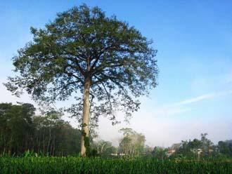 Kapok (foto: EOL)