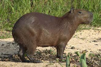 Kapibara (foto: EOL)