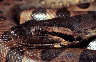 Anakonda (foto: Laurie Vitt / animaldiversity.ummz.umich.edu)