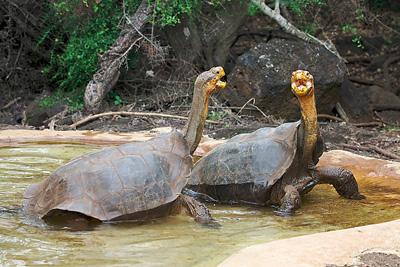 Divovska kornjača (foto: Wikipedia)