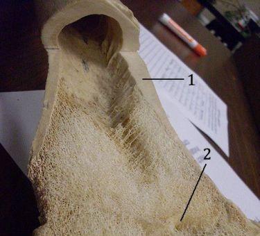 Prerez bedrene kosti krave. (Foto: Flickr)