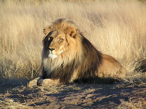 Lav, mužjak (foto: Wikipedia)