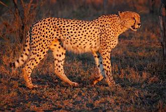 Gepard (foto: EOL)