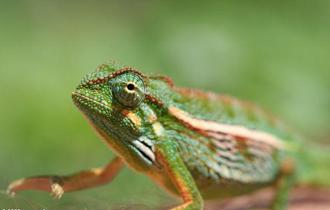 Eliotov kameleon (foto: Mongabay.com)
