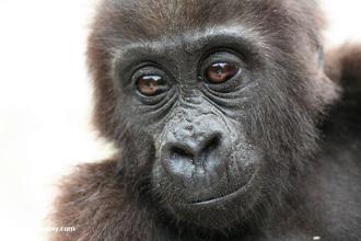 Gorila (foto: Mongabay.com)