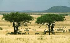 Afrička savana (foto: bw.uaf.edu)