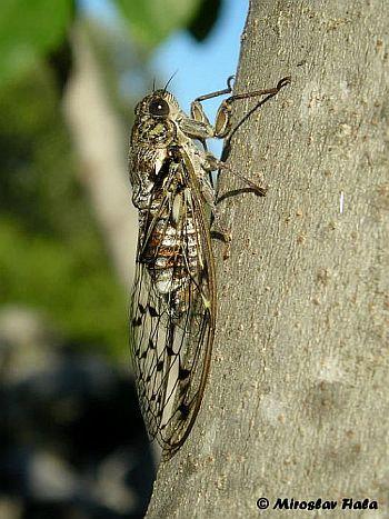 Cvrčak (foto: EOL)