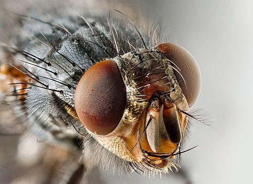 Obična muha (foto:Wikimedia)