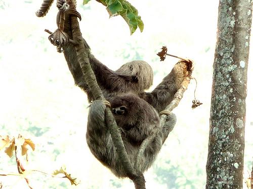 Ljenivac s mladuncima (foto: Flickr)