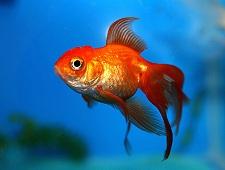 Zlatna ribica (Izvor: Wikimedia Commons)