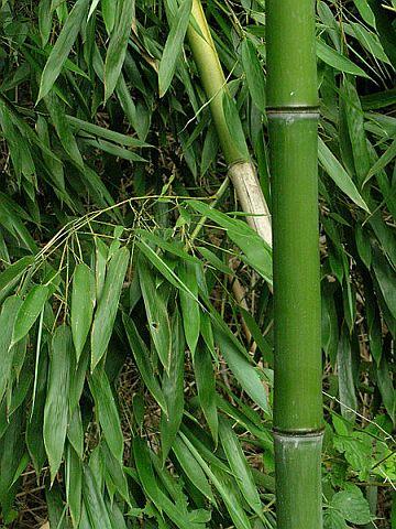 Bambus (foto: Wikimedia)