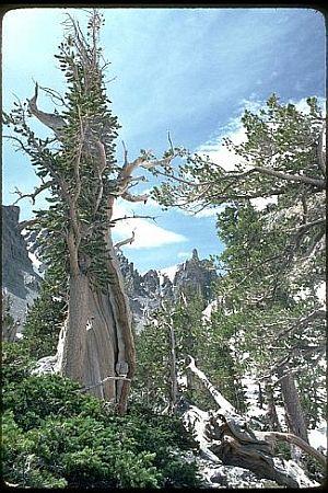 Tisućljetni bor (foto: Wikimedia)