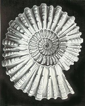 Crtež Fosila amonita (Izvor: Wikimedia Commons)