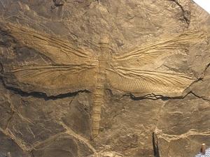 Fosilni ostaci divovskog vretenca (Meganeura), Izvor: Wikimedia Commons