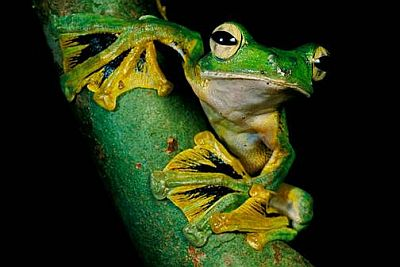 Leteća azijska žaba (foto: Timlaman.com)