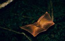 Rogata žaba (foto: ryanphotographic.com)
