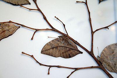 Leptir letilist zatvorenih krila (foto: Wikimedia)