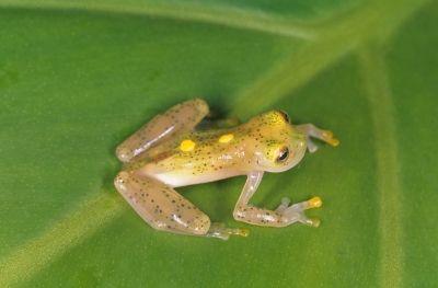 Prozirna žaba odozgo (foto: EOL)