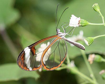 Leptir prozirnih krila (foto: Flickr)