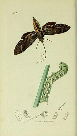 Leptir i njegova gusjenica (foto: Wikipedia)