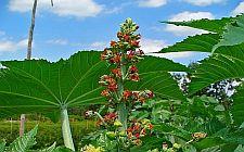Cvijet i list običnog ricinusa (foto: Wikimedia)