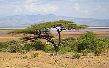 Akacija u afričkoj savani (foto: Wikimedia)
