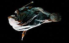 Riba udičarka (foto: EOL)