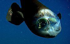 Riba bačvastooka (foto: (c) 2009 MBARI)
