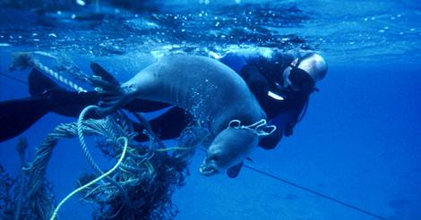 Znanstvenici  pomažu morskim sisavcima osloboditi se od plastičnog otpada (foto: NOAA)