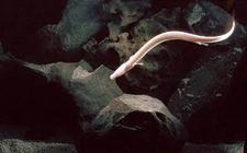 Čovječja ribica u Postojnskoj jami u Sloveniji (foto: Wikipedia)