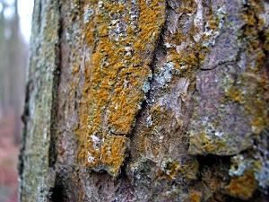 Lišajevi na kori drveta (Izvor: Wikimedia Commons)
