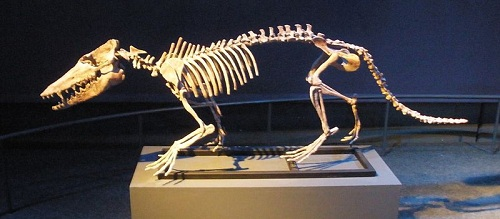 Pakicetus )Izvor: Wikimedia Commons)