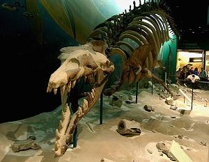 Fosilni ostaci Basilosaurusa (Izvor: Wikimedia Commoms)