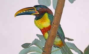 Ptica Pteroglossus castanotis (foto: EOL)