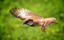 Vrabac u letu (foto: EOL)