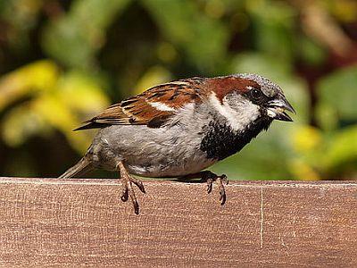 Obični vrabac (foto: EOL)