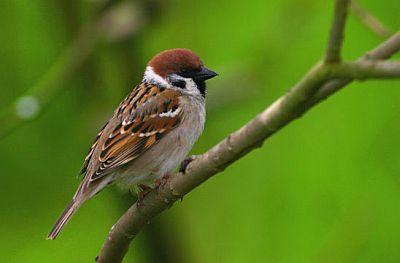 Poljski vrabac (foto: EOL)