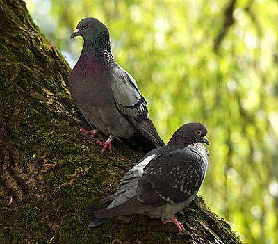 Gradski golub (foto: EOL)