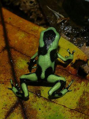 Crno zelena otrovna žaba (foto: Wikimedia)